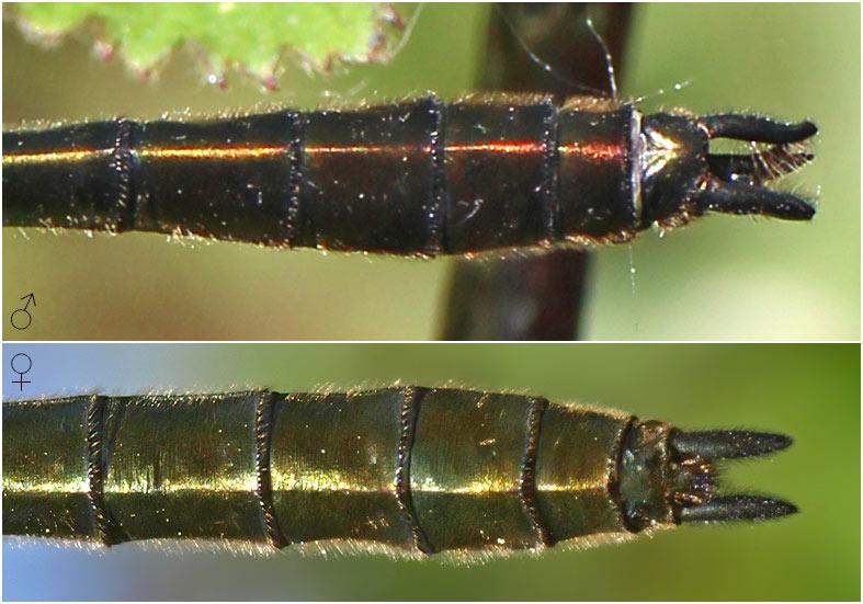 Cordulia aenea mâle et femelle, appendices anaux, France