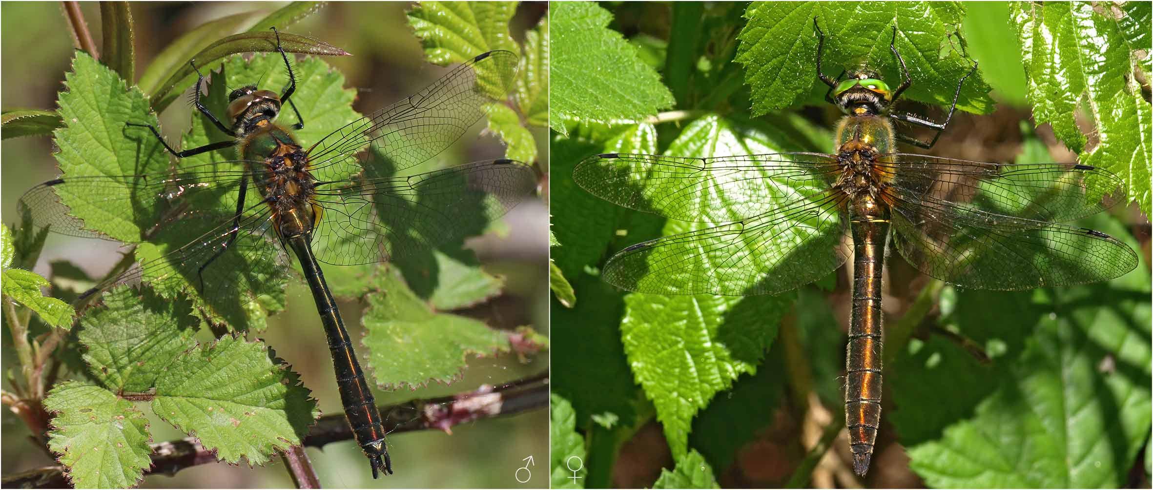 Cordulia aenea mâle et femelle, France