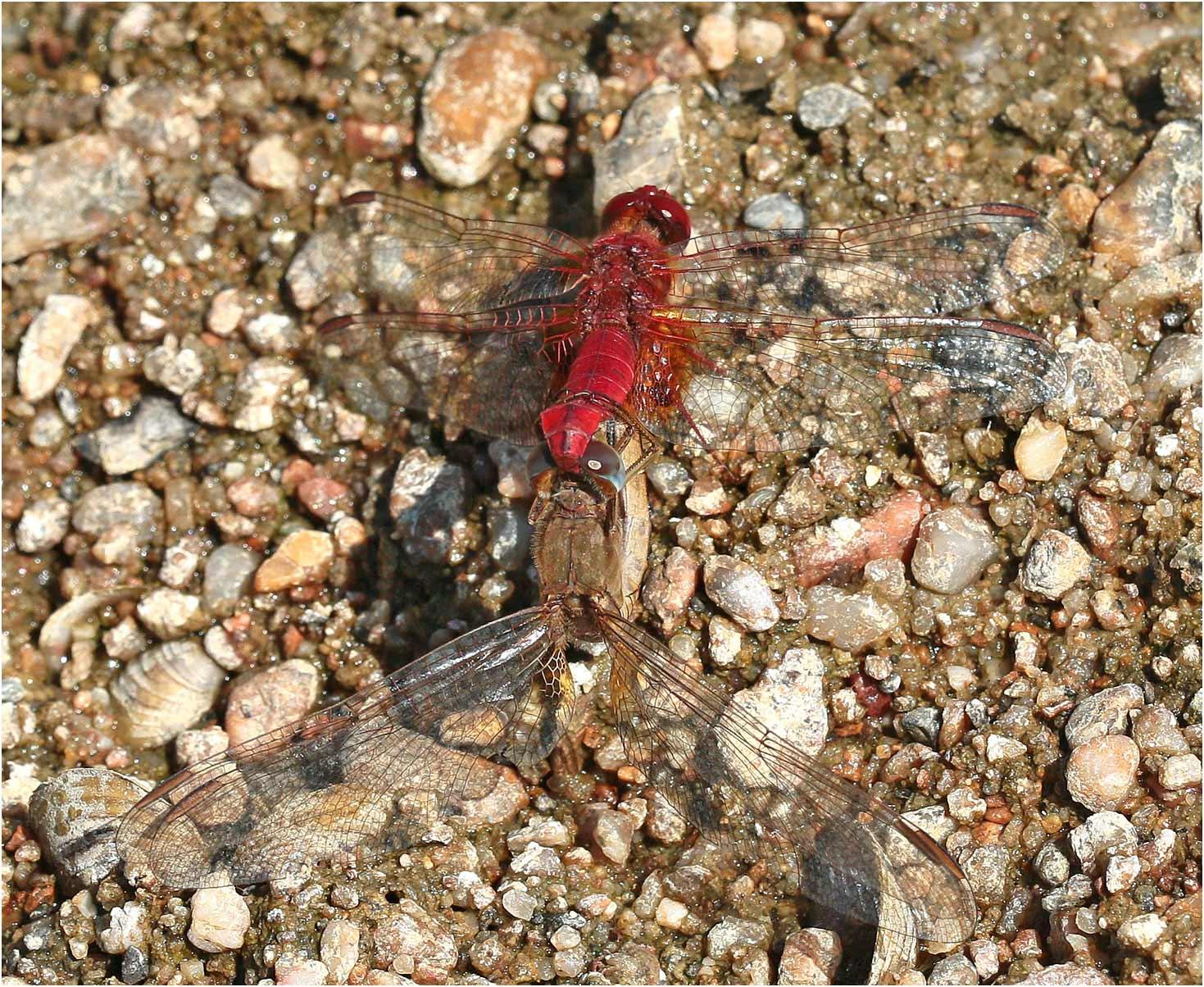 Accouplement de Crocothemis erythraea, rive droite de la Loire à Montjean sur Loire, 22/08/2019