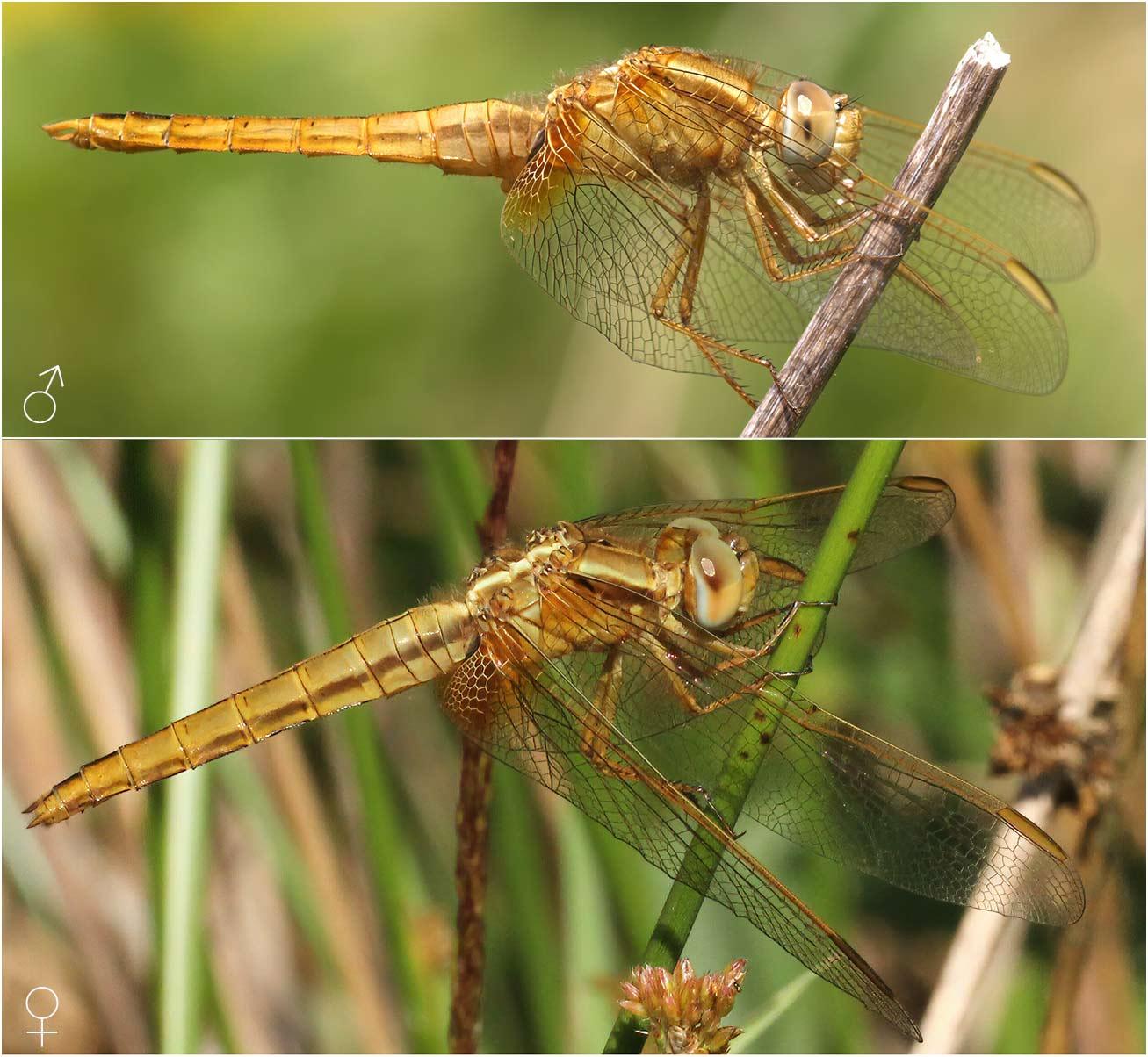 Crocothemis erythraea mâle et femelle, France
