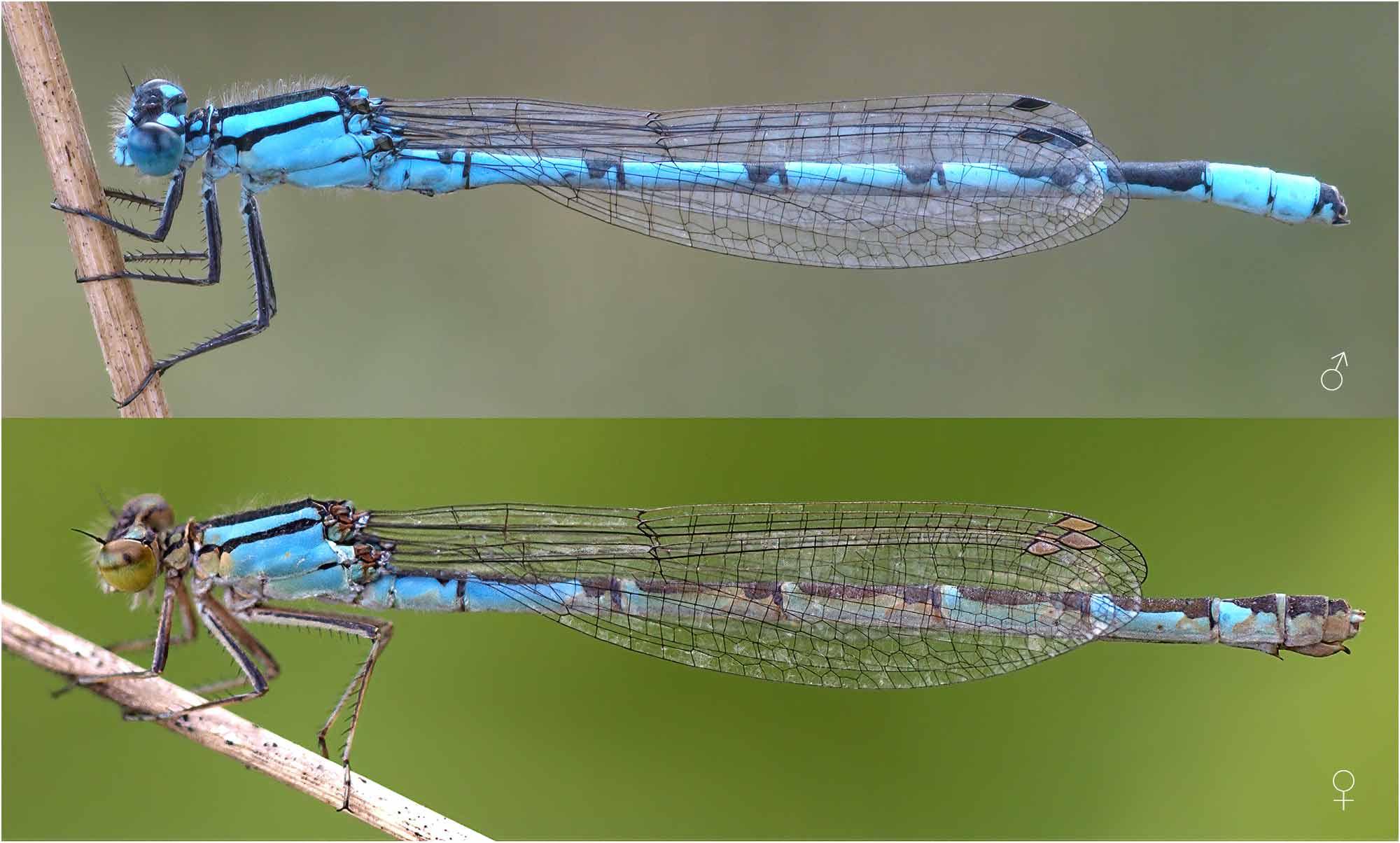 Enallagma cyathigerum mâle et femelle, France