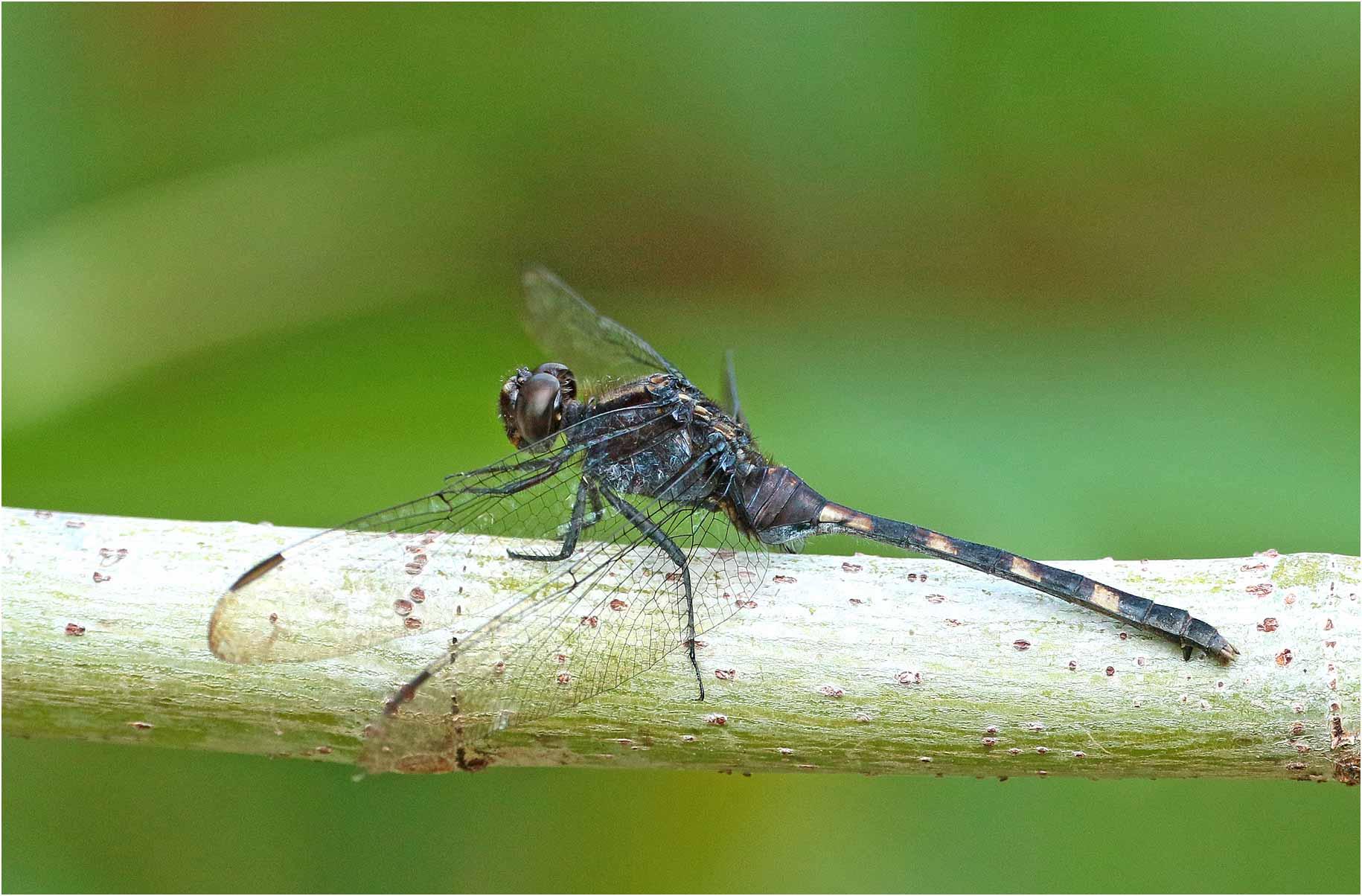 Erythemis plebeja femelle, Mexique, Palenque (Chiapas), 29/10/2019
