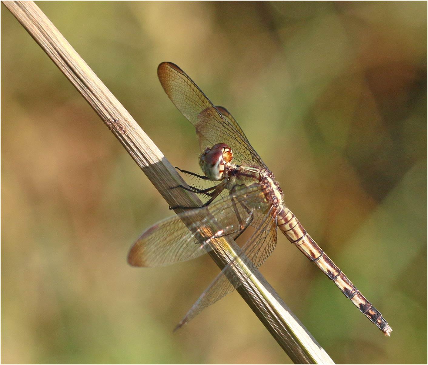 Erythrodiplax umbrata femelle, Mexique, Palenque, 29/10/2019