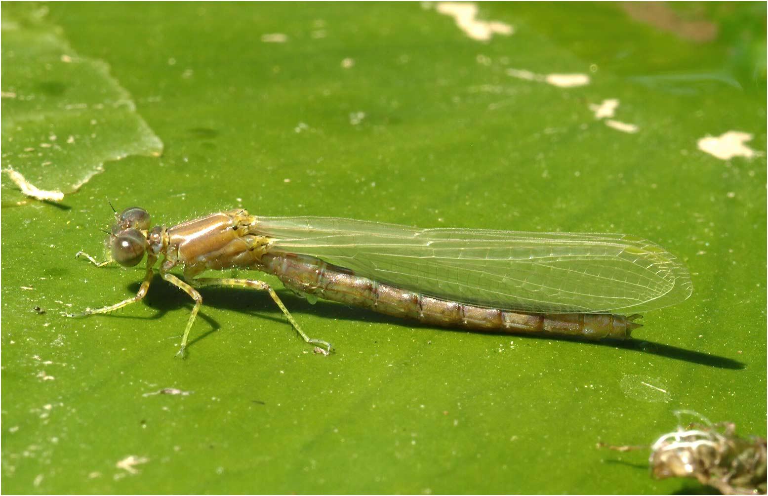 Erythromma lindenii mâle en émergence, Le Fief Sauvin (France-49), 23/05/2010