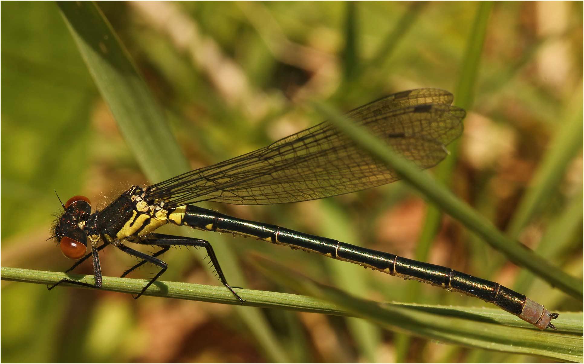 Erythromma najas mâle immature, Gennes sur Loire (France-49), 03/05/2012