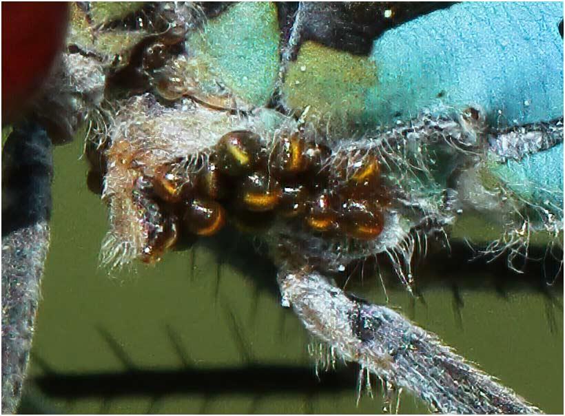Erythromma najas mâle, Gennes sur Loire (France-49), 26/05/2012