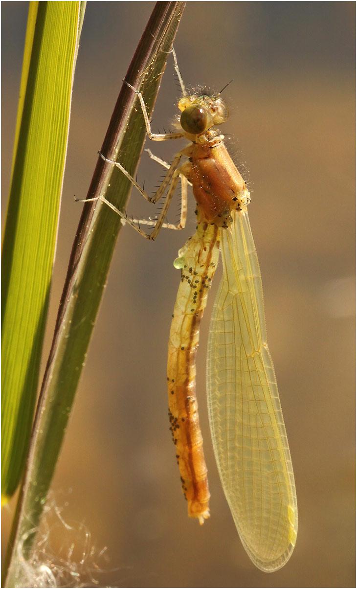 Erythromma najas mâle émergent, Gennes sur Loire (France-49), 03/05/2012