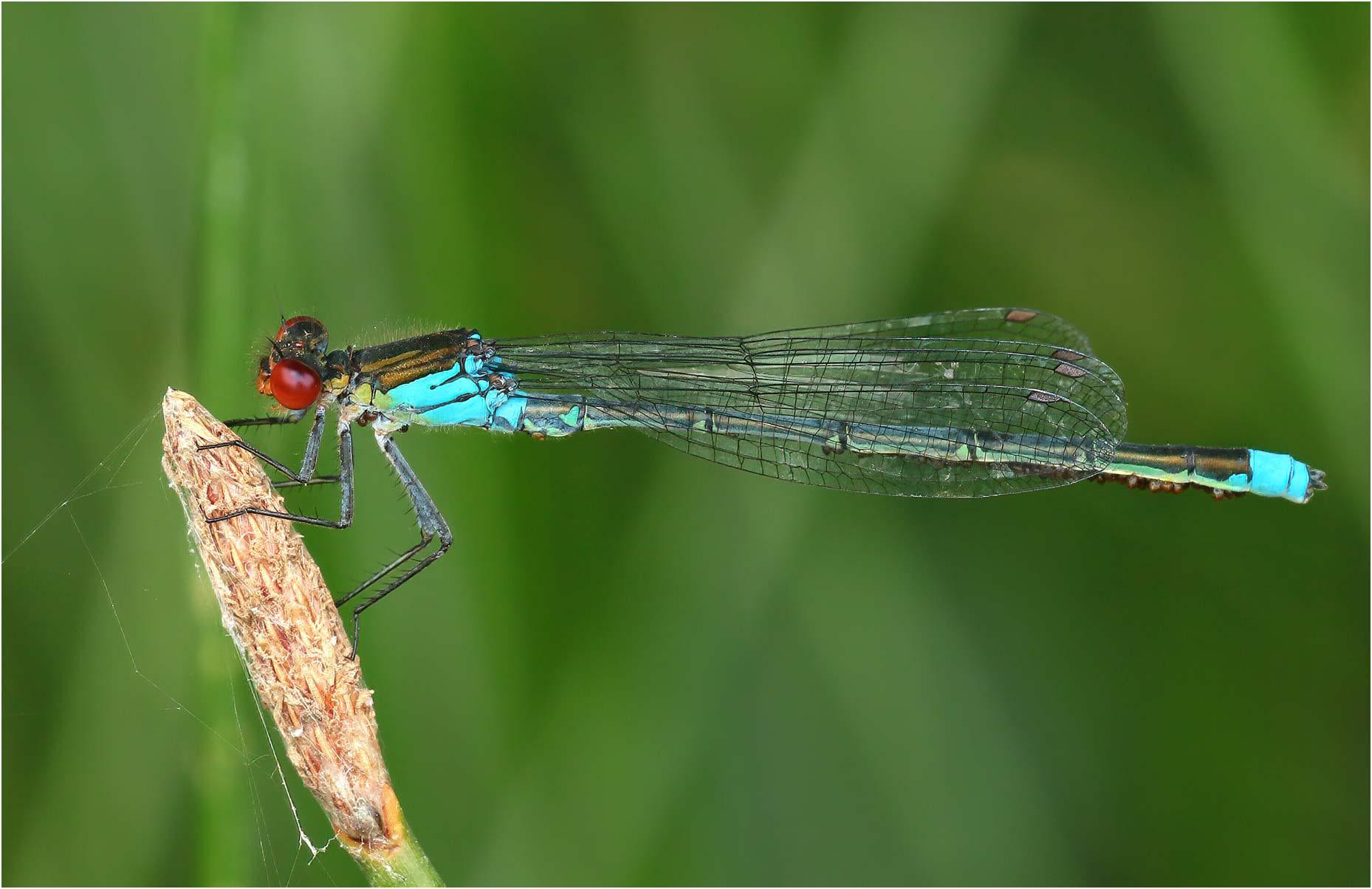 Erythromma najas mâle (parasité), Gennes sur Loire (France-49), 31/07/2020
