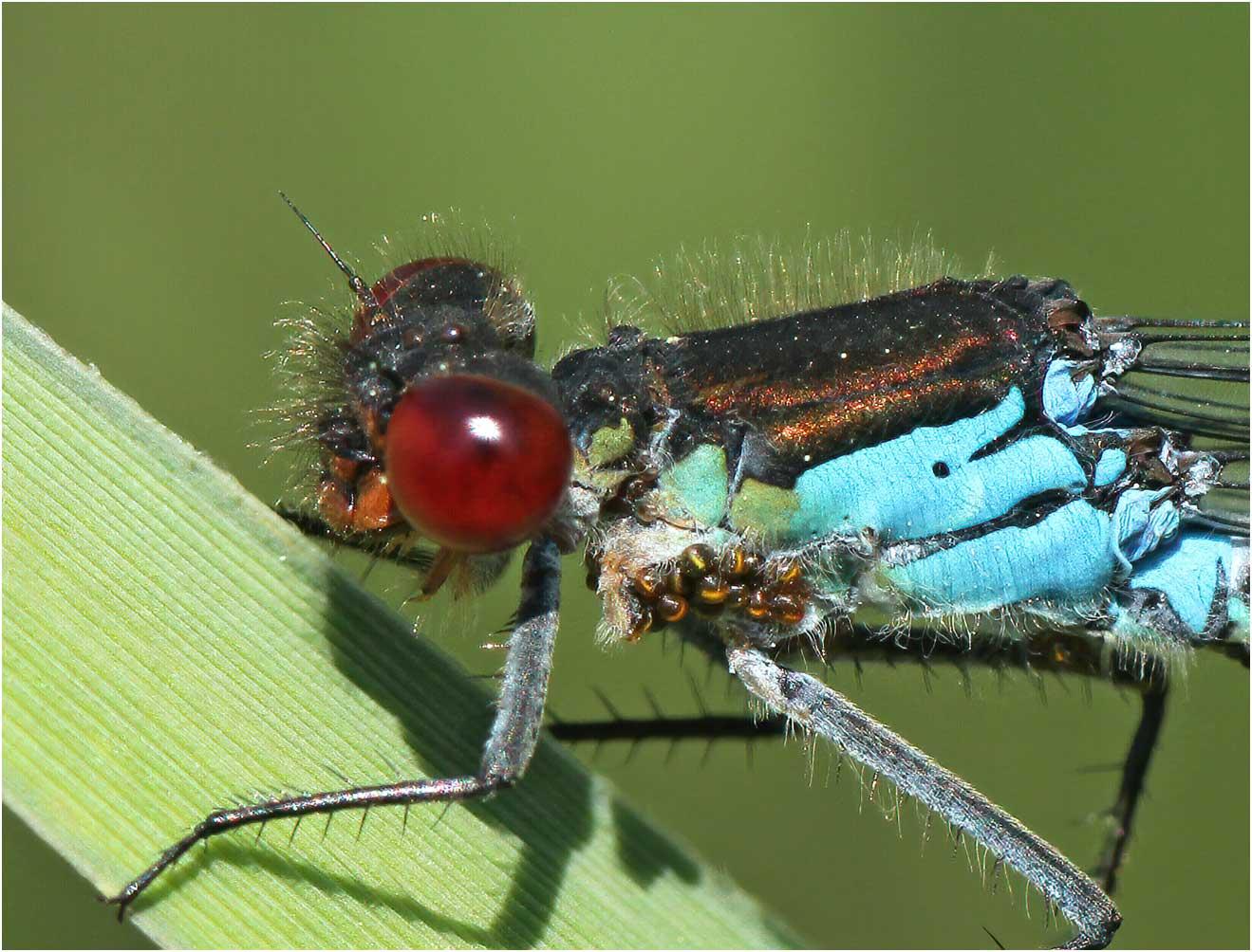 Erythromma najas mâle parasité, Gennes sur Loire (France-49), 26/05/2012