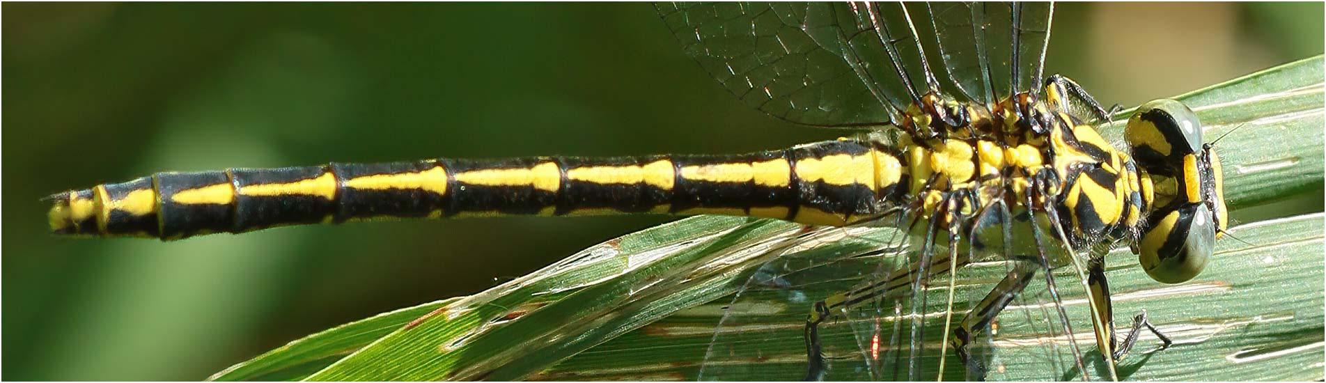 Gomphus graslinii femelle, Siest (France-40), 05/07/2020