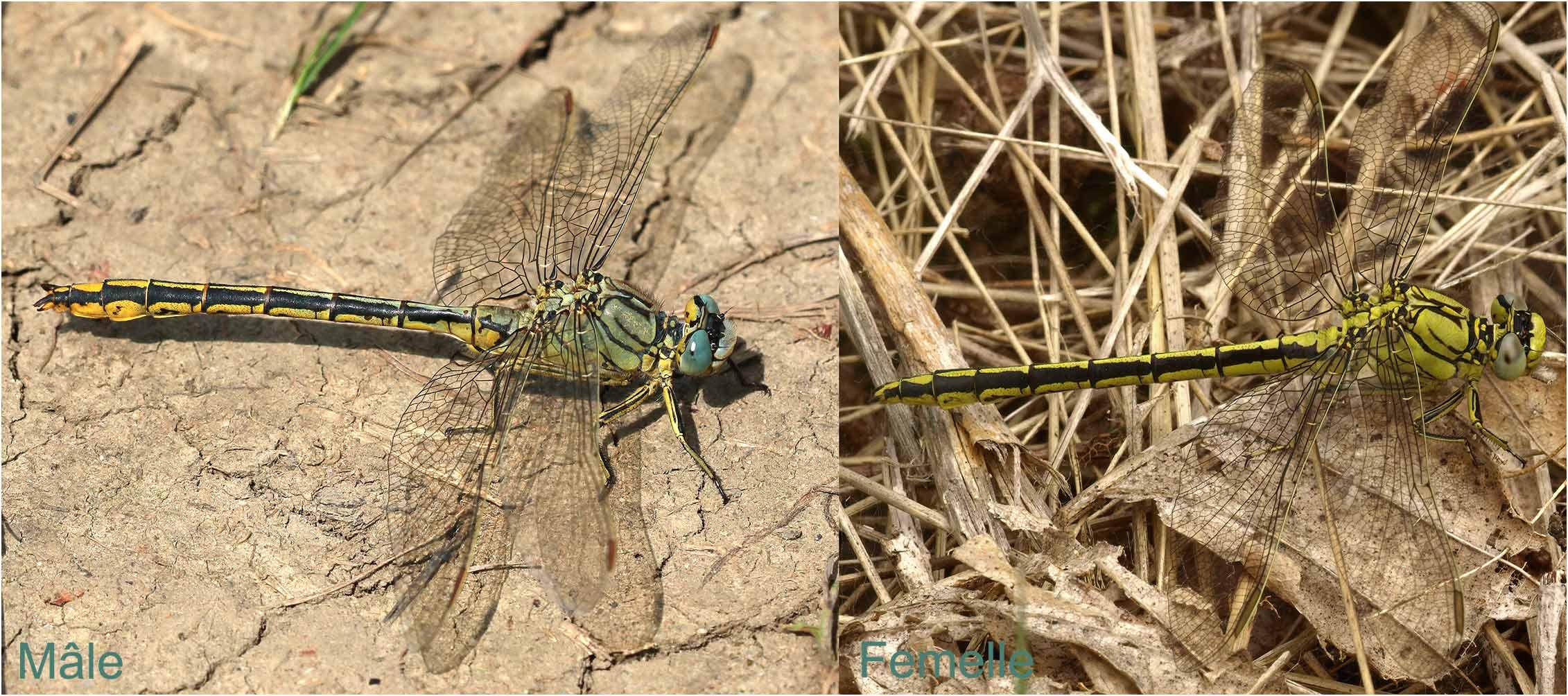 Gomphus pulchellus mâle et femelle, France