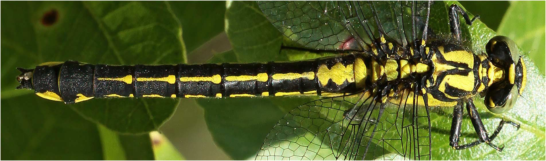 Gomphus vulgatissimus femelle, Ardèche, 14/06/2013