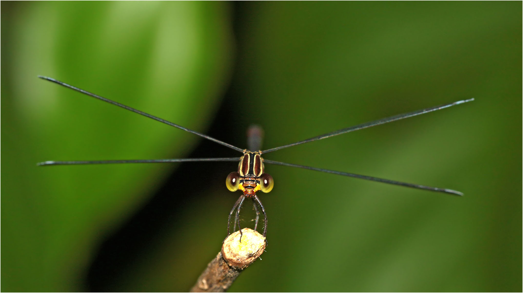 Heteragrion alienum femelle, Mexique, Palenque (Chiapas), 29/10/2019