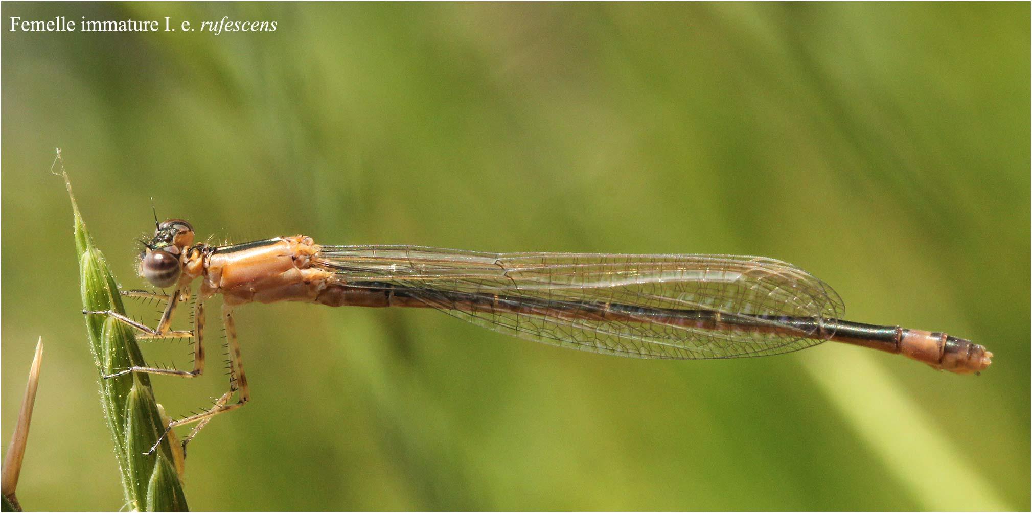 Ischnura elegans femelle immature rufescens, Etang de Péronne (France - 49), 04/06/2011