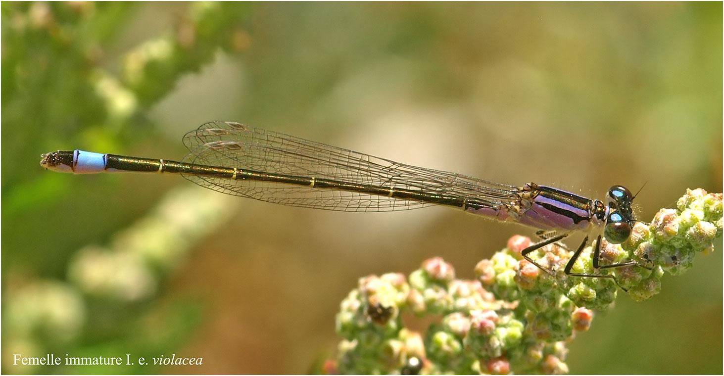 Ischnura elegans femelle immature violacea, La Renaudière (France - 49), 01/08/2010