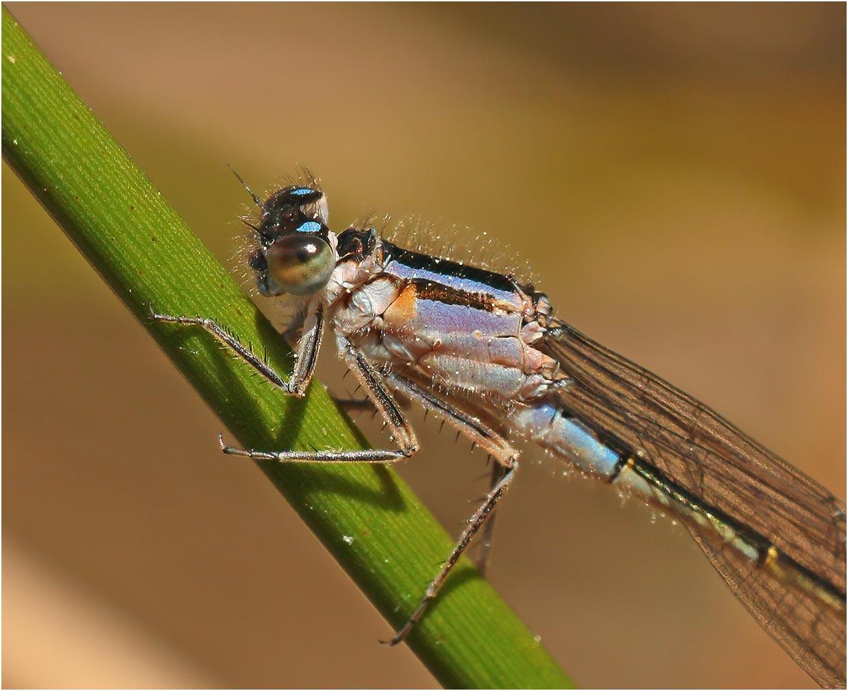 Ischnura elegans femelle immature type violacea Andrezé (France-49), 22/04/2021