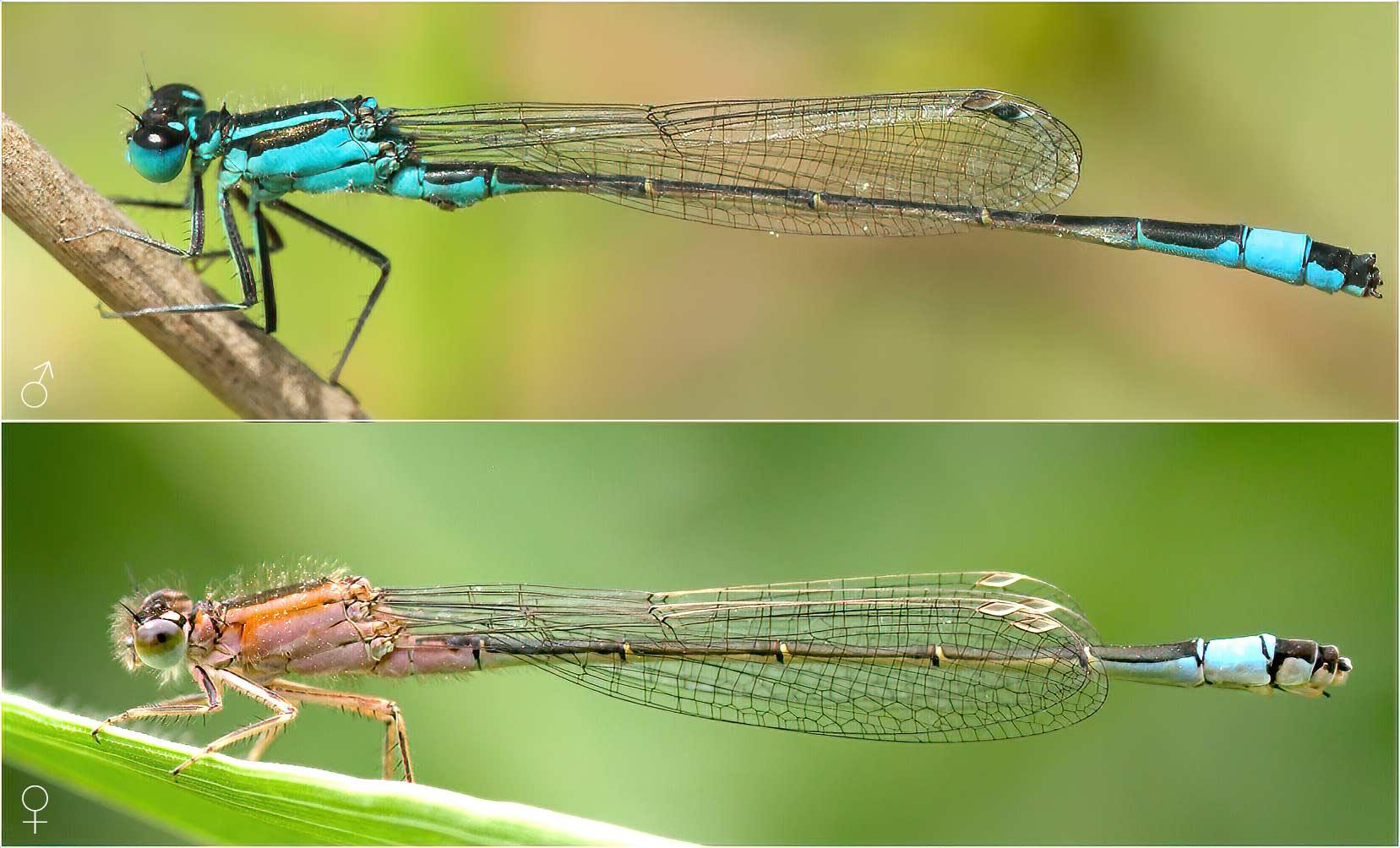Comparasion des Ischnura elegans mâle et femelle