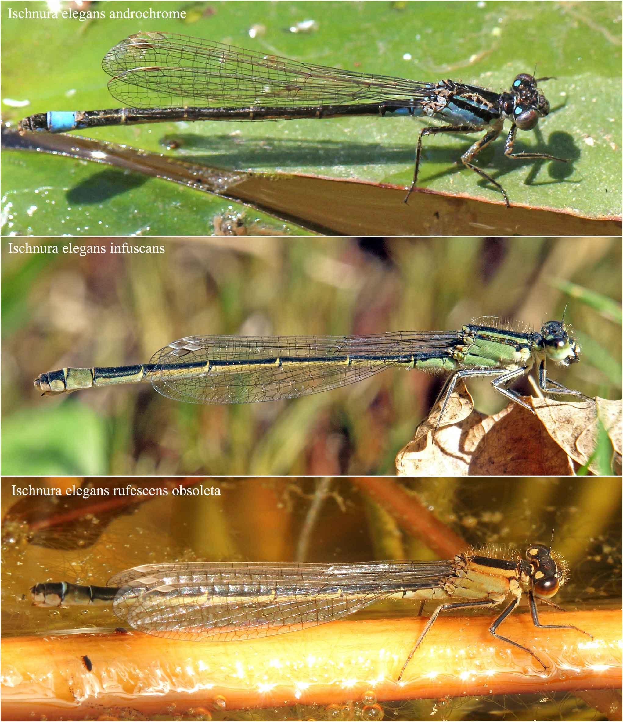 Les 3 formes de femelles matures Ischnura elegans
