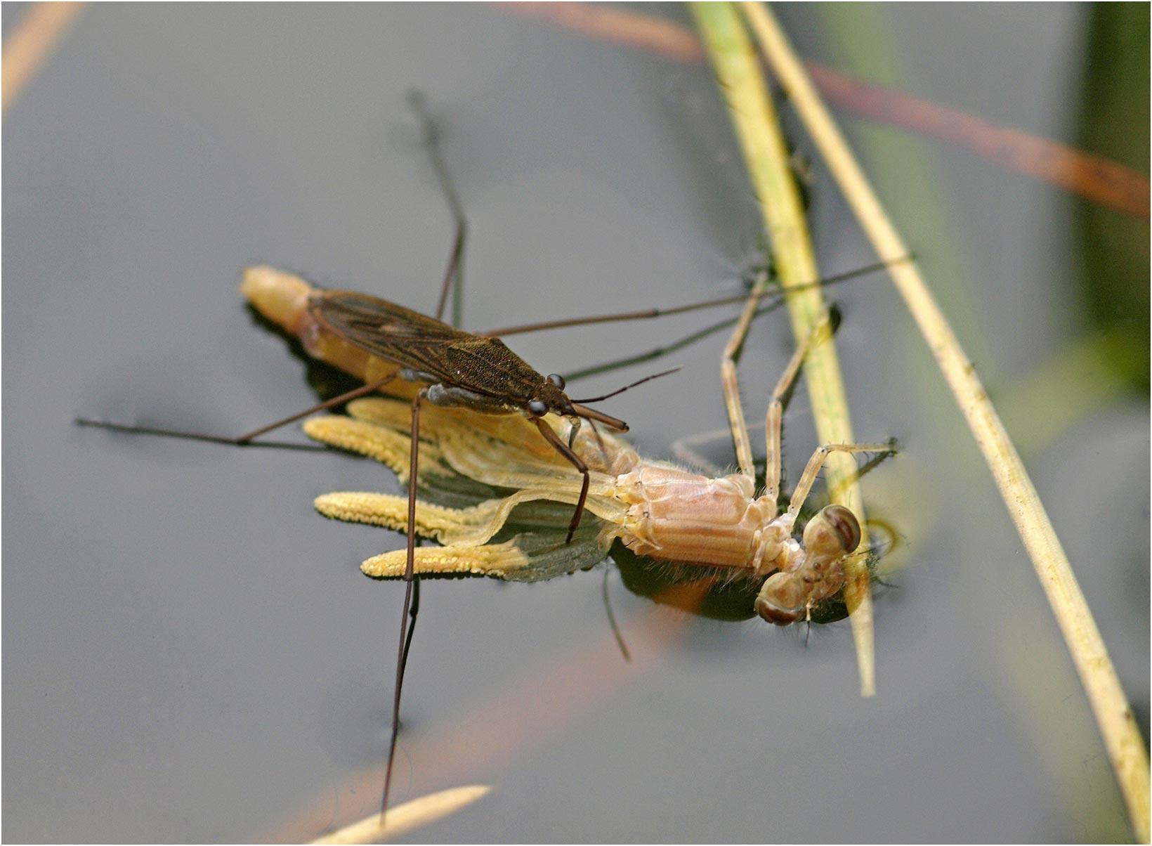 Ischnura elegans mâle émergent victime d'un Gerris, Beaupréau en Mauges (France - 49), 18/05/2008