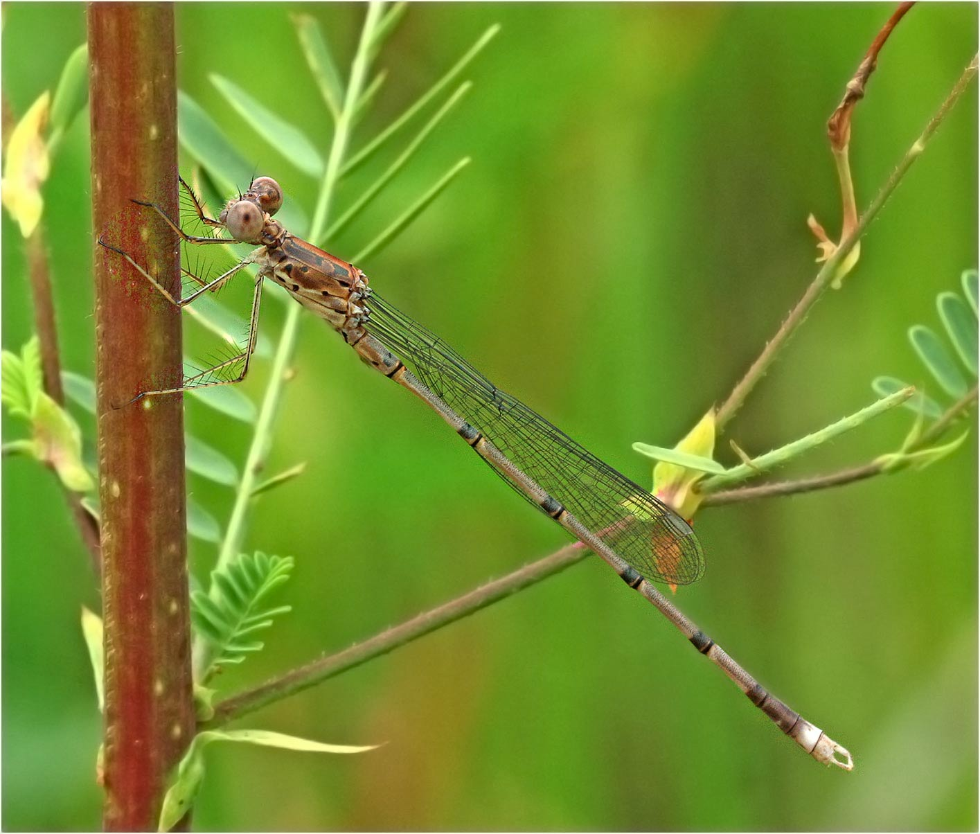 Lestes dissimulans mâle, Namibie, Kalambesa, 17/02/2020