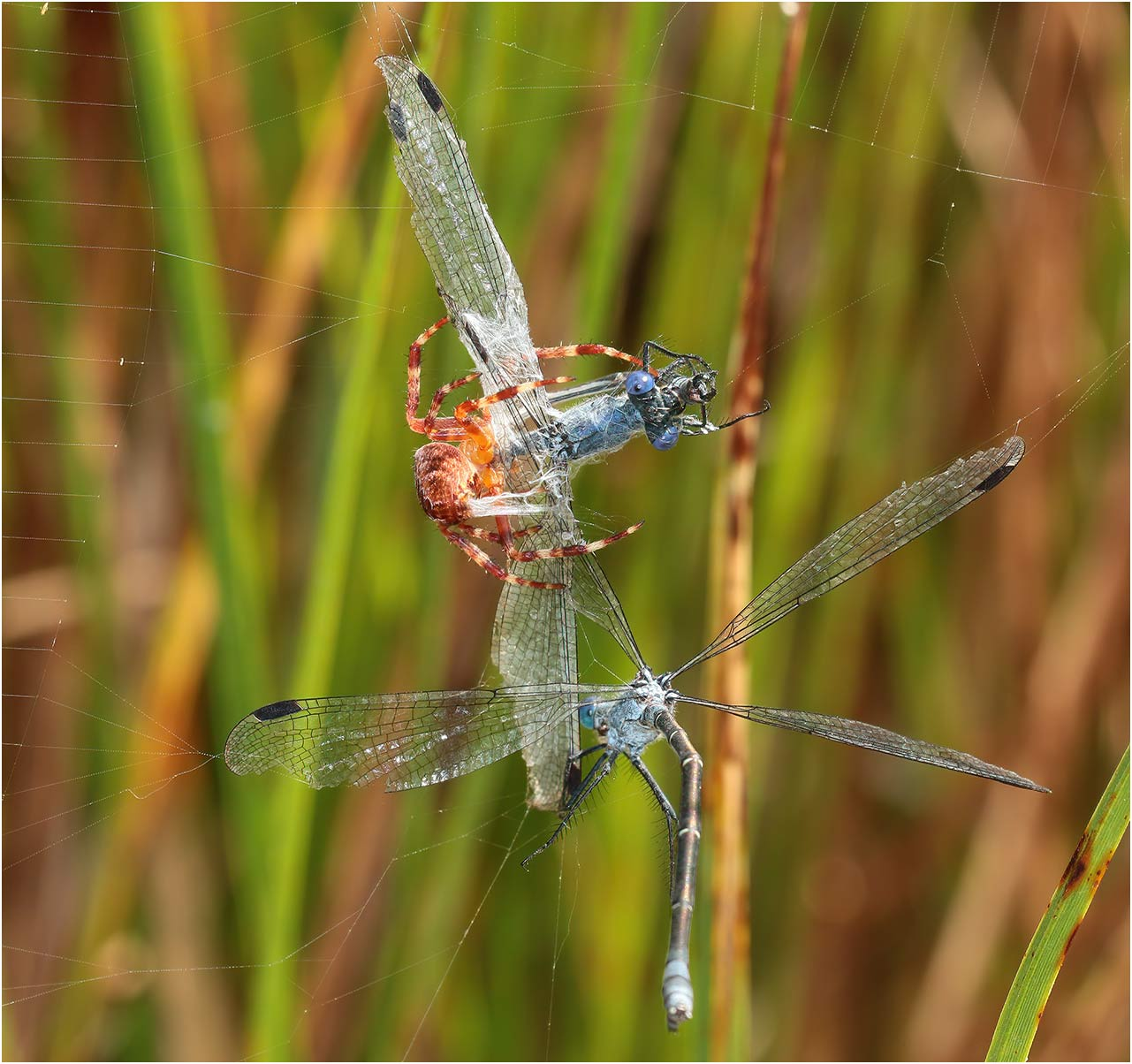 Lestes macrostigma mâle, prédation par Larinoides cornutus, La Barre de Monts, 12/07/2018