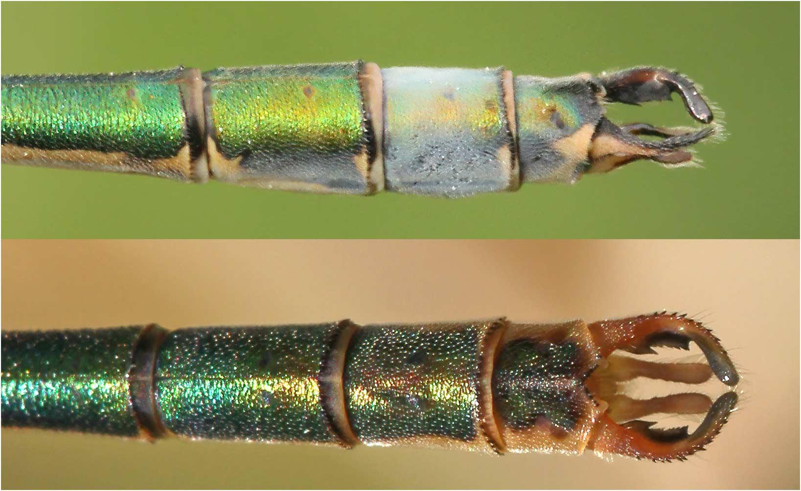 Lestes sponsa appendices anaux mâles, France
