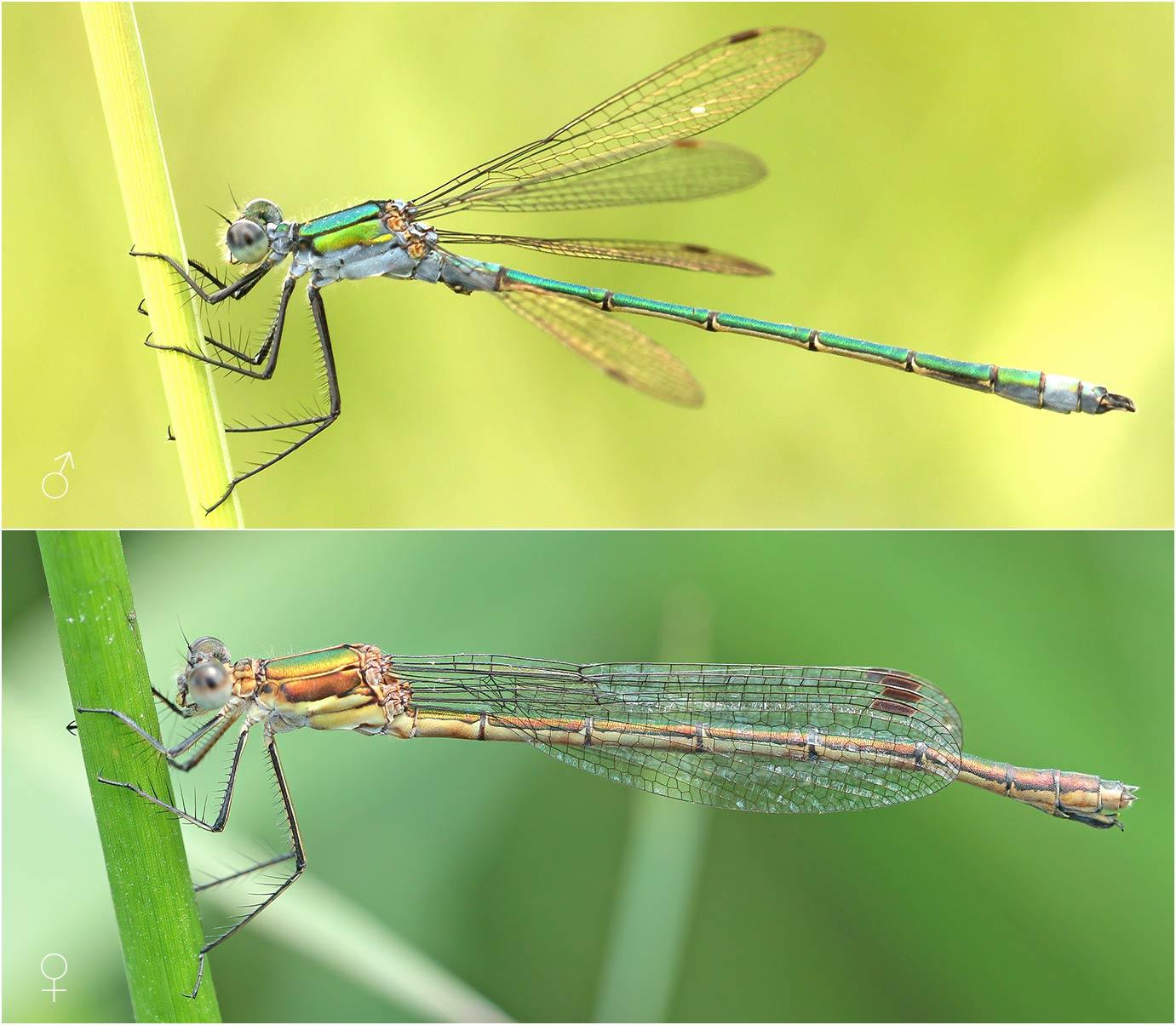 Lestes sponsa mâle et femelle, France