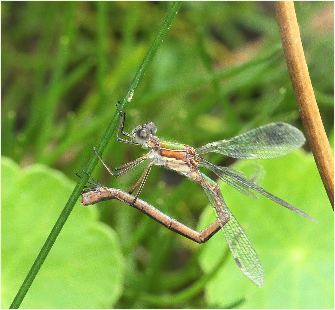 Lestes sponsa femelle, ponte en solo, Chanteloup les bois (France-49), 14/09/2014