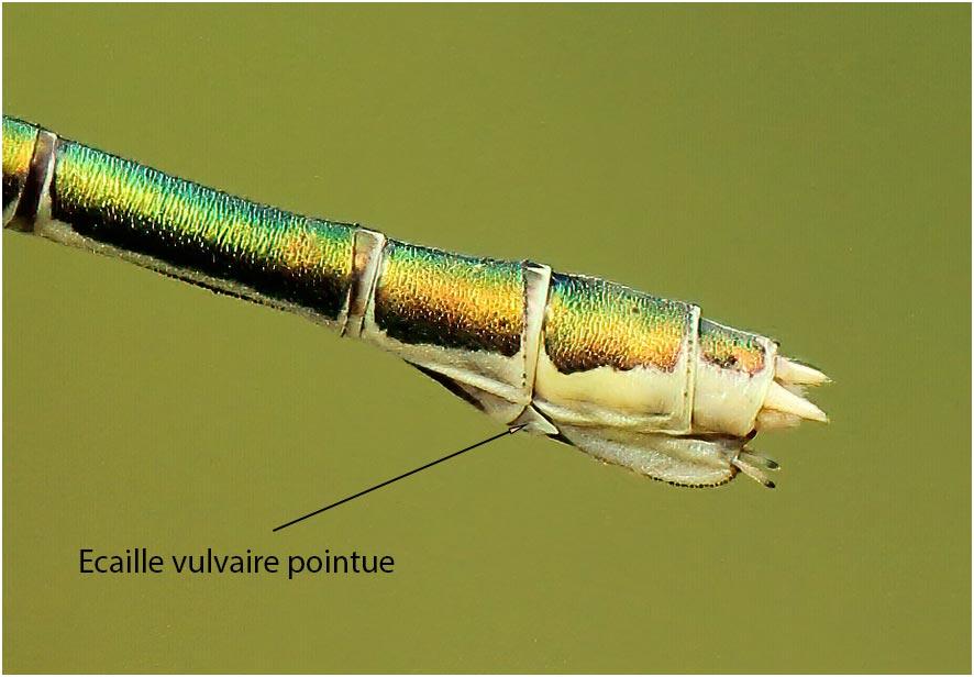 Lestes virens femelle écaille vulvaire, Le Fuilet (France-49), 01/07/2012