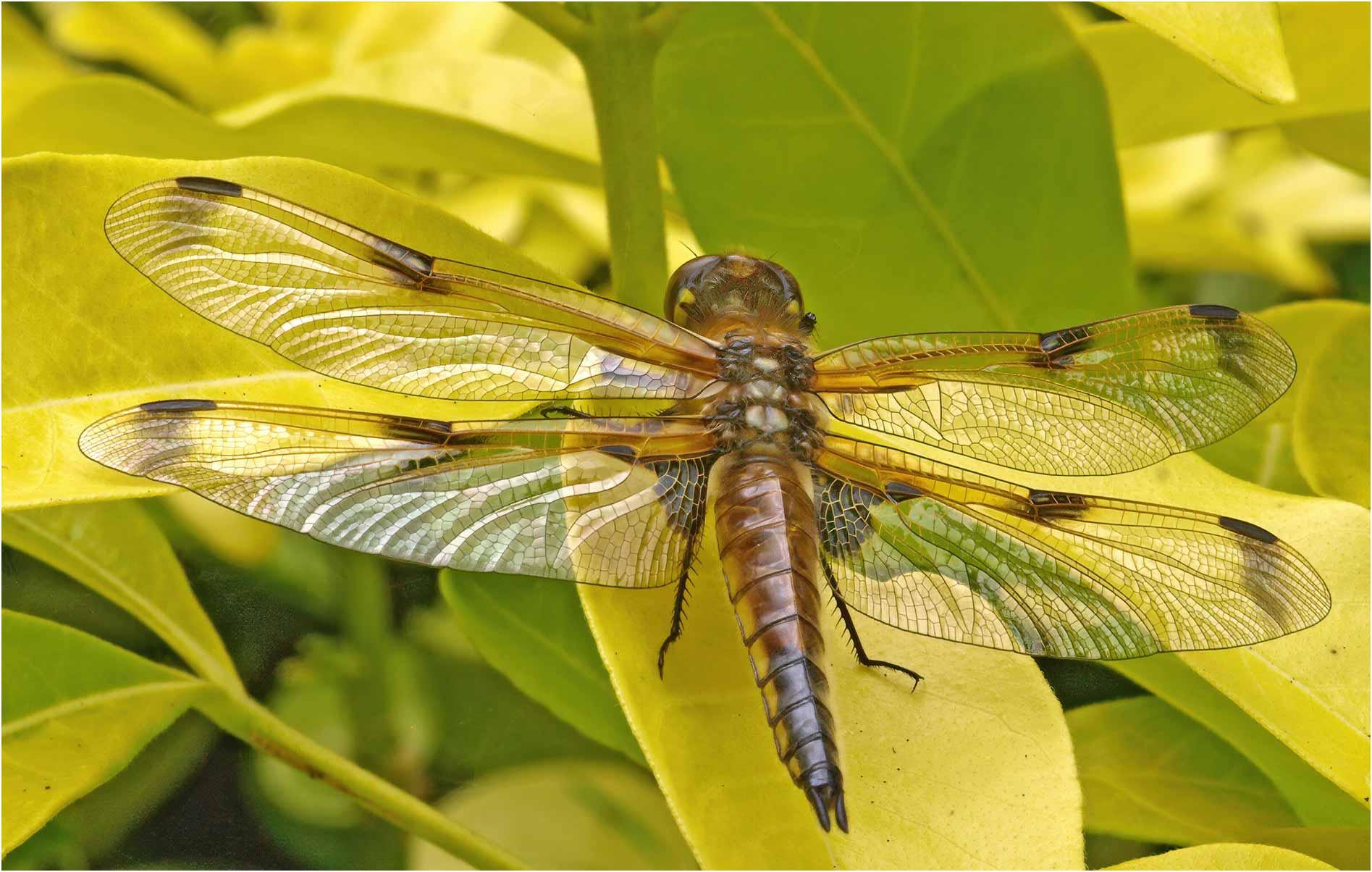 Libellula quadrimaculata femelle émergente, Beaupréau (France-49), 18/06/2009