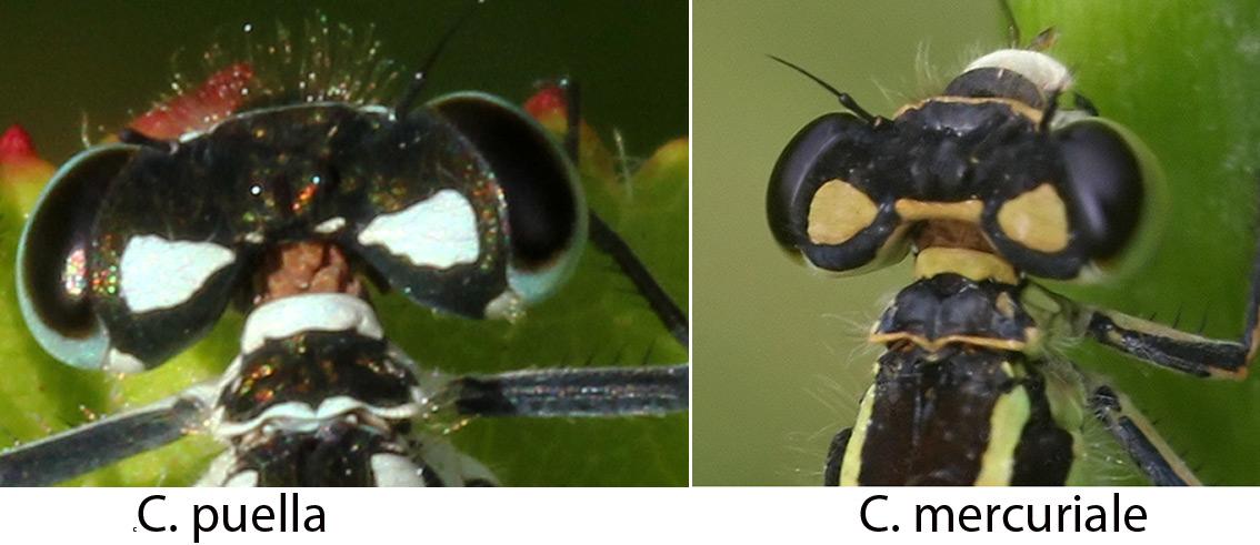 Pronotum des Coenagrion puella et mercuriale femelles