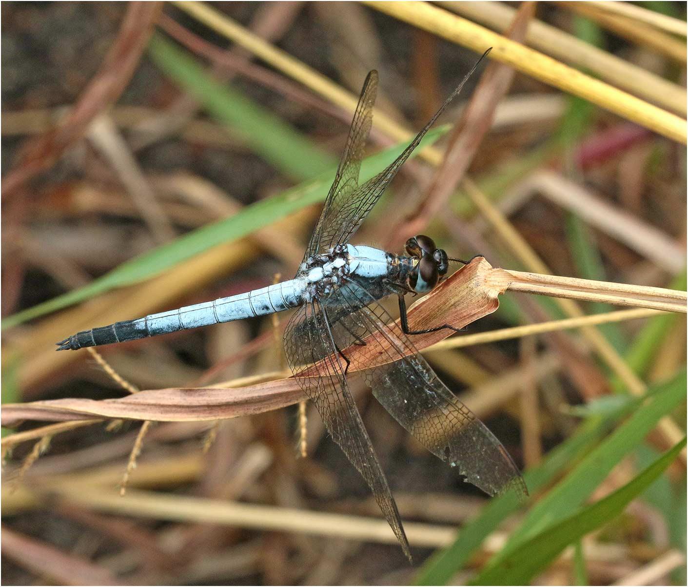 Nesciothemis farinosa mâle, Namibie, Singalamwe, 16/02/2020