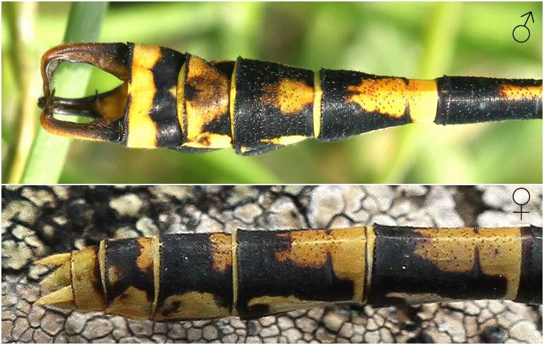 Onychogomphus forcipatus appendices anaux mâle et femelle, France