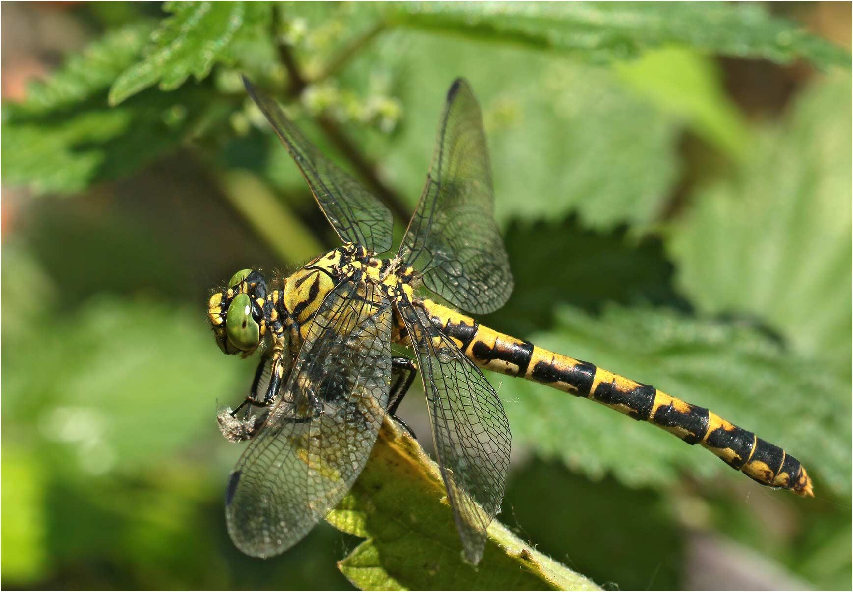 Onychogomphus forcipatus femelle, Portet sur Garonne (France-31), 19/07/2019