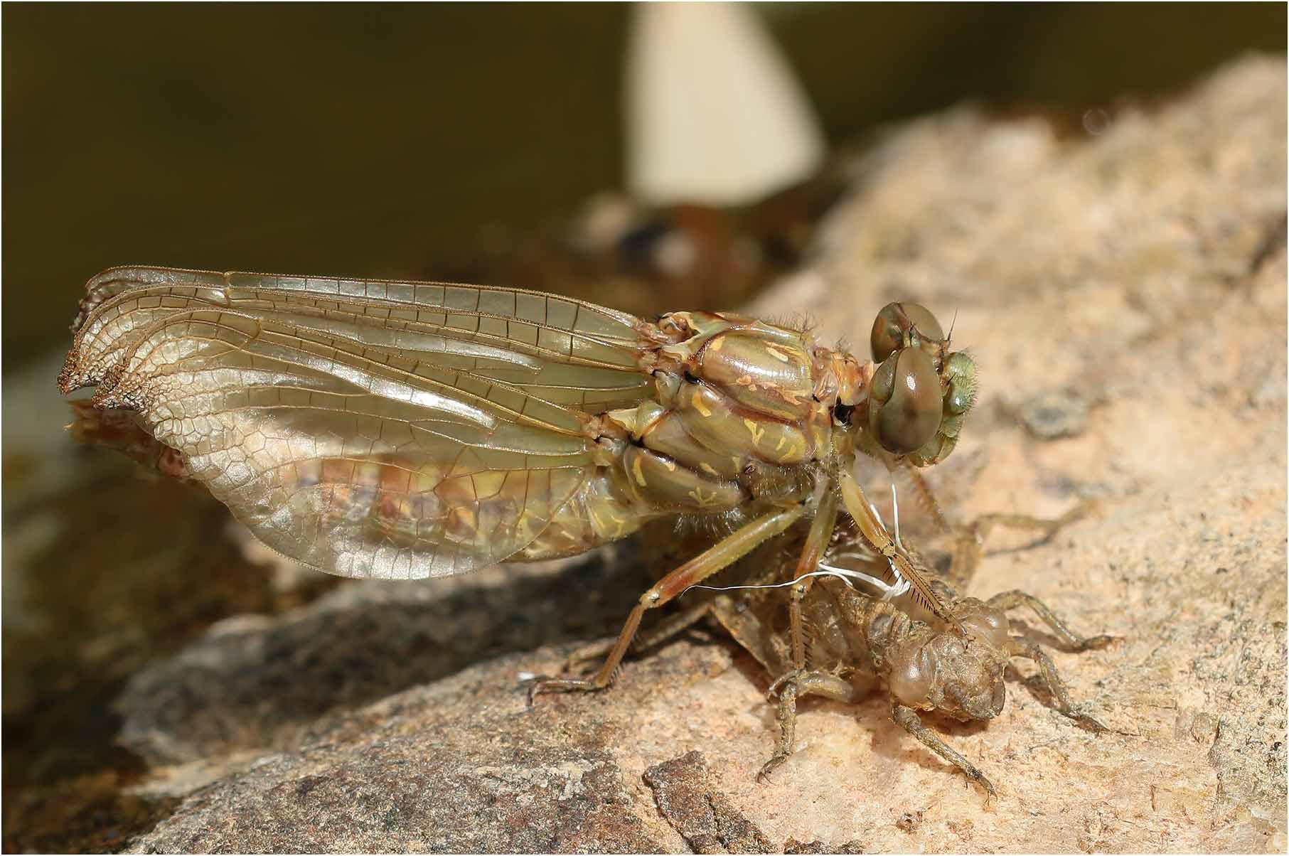 Onychogomphus forcipatus unguiculatus femelle en fin d'émergence, la Prade (Ardèche-07) sur la Ligne, 15/07/2020