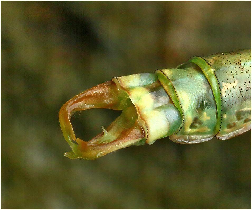 Onychogomphus forcipatus mâle émergent, Varades (France-44), 22/06/2017