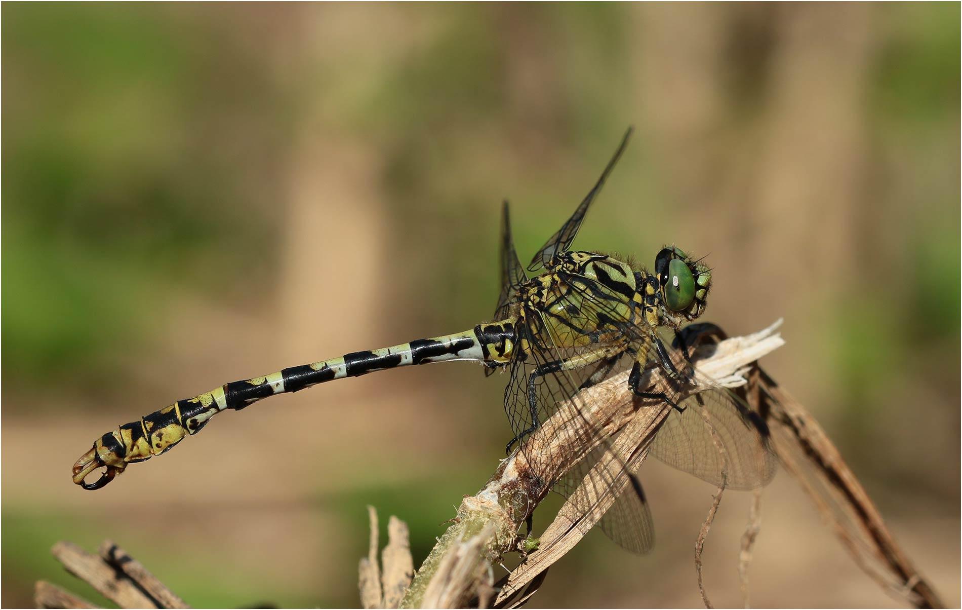 Onychogomphus forcipatus mâle, Sort en Chalosse (France-40), 06/07/2020