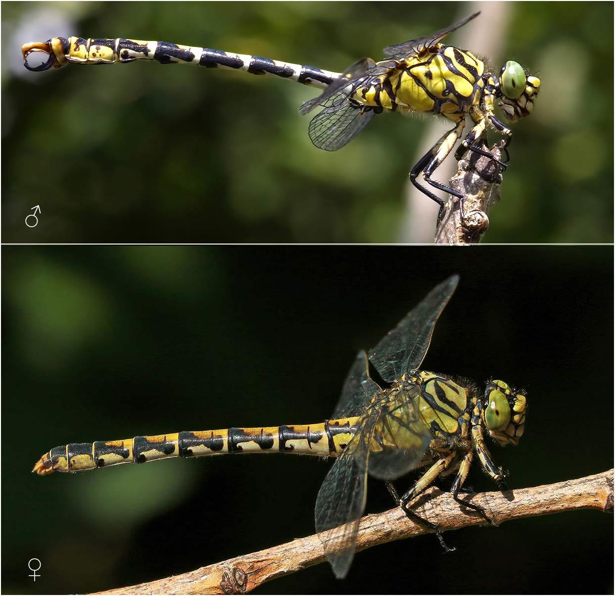 Onychogomphus forcipatus mâle et femelle, France