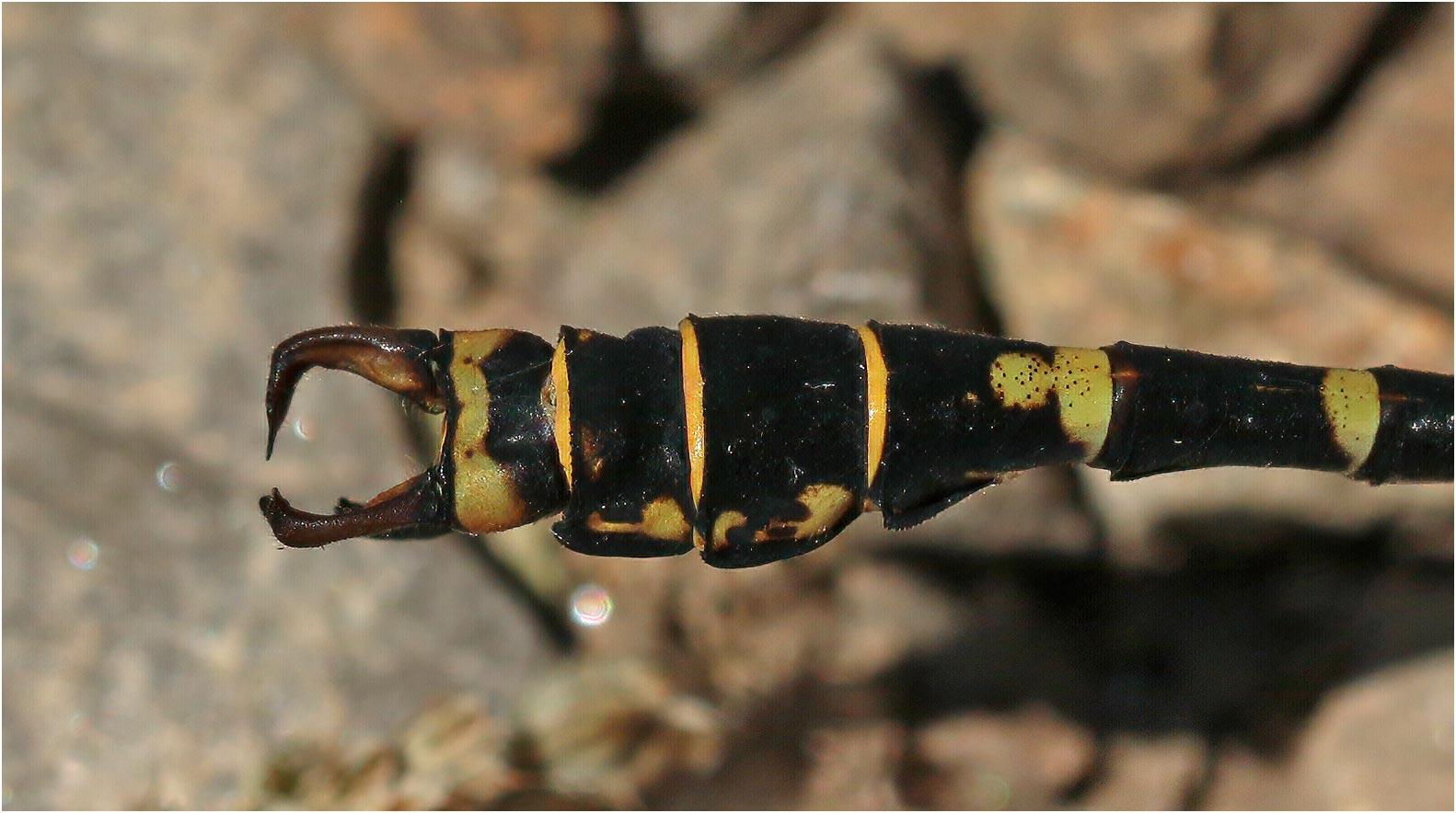 """Onychogomphus forcipatus mâle montrant sa """"pince"""" ouverte, Langogne (France-48), 13/07/2020"""