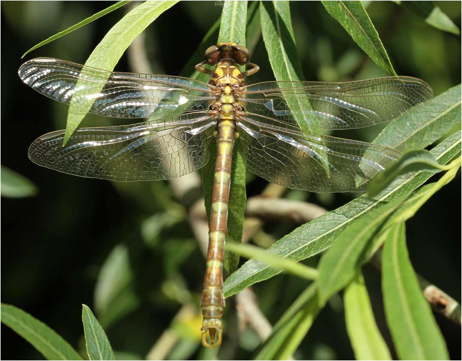 Onychogomphus uncatus mâle émergent, Joyeuse (France-07), 14/06/2013