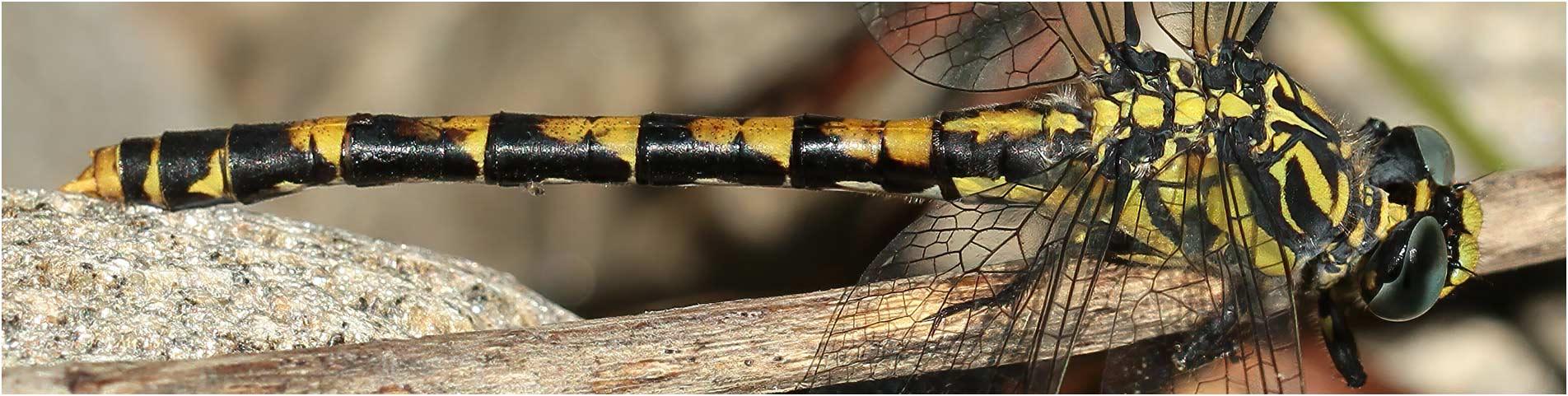 Onychogomphus uncatus femelle, Malbosc (France-07), 14/07/2014