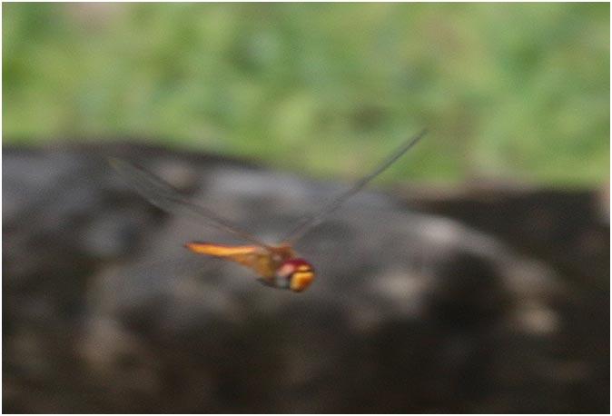 Pantala flavescens, Mexique, Palenque (Chiapas), 29/10/2019
