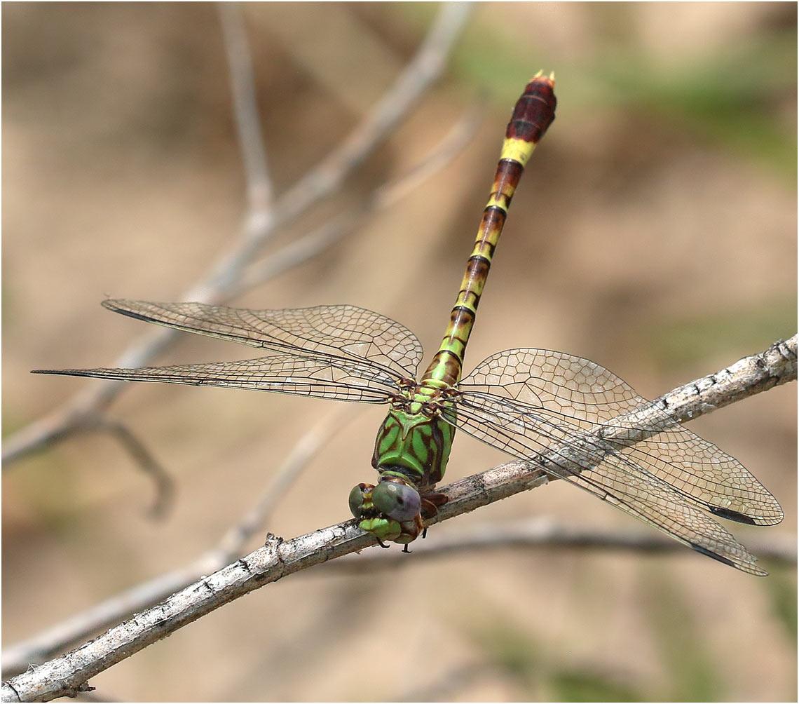 Paragomphus elpidius femelle, Namibie, Rundu, Okavango River, 10/02/2020