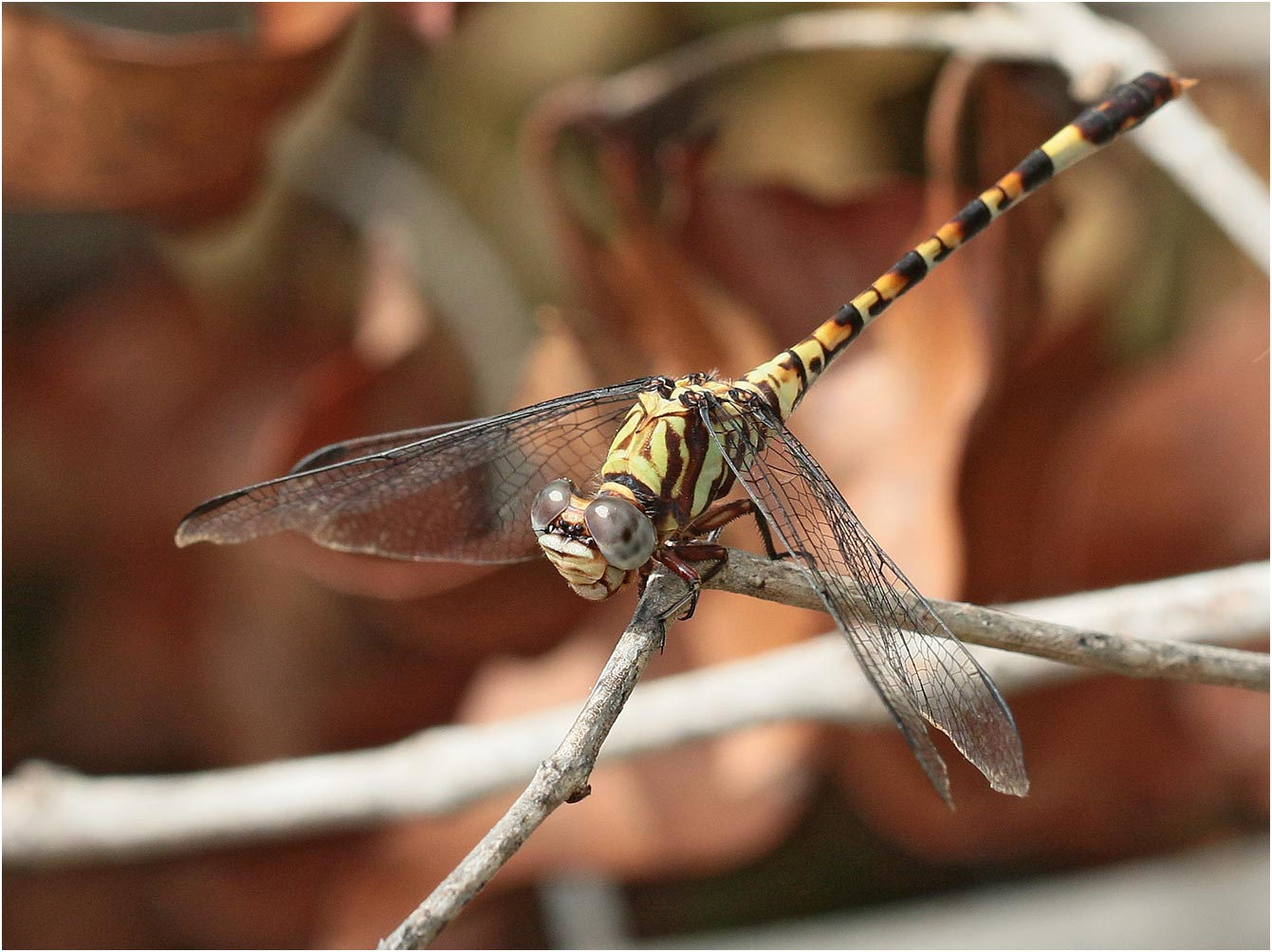 Paragomphus elpidius femelle immature, Namibie, Kalambesa, 15/02/2020