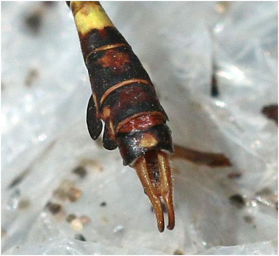 Paragomphus genei mâle, appendices anaux , Ethiopie, lac Awasa, 31/10/2018
