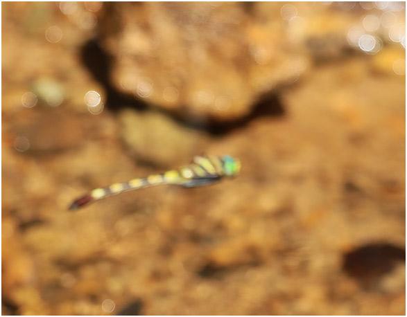 Phyllomacromia picta, Namibie, Katima Mulilo, Wenela border post, 13/02/2020