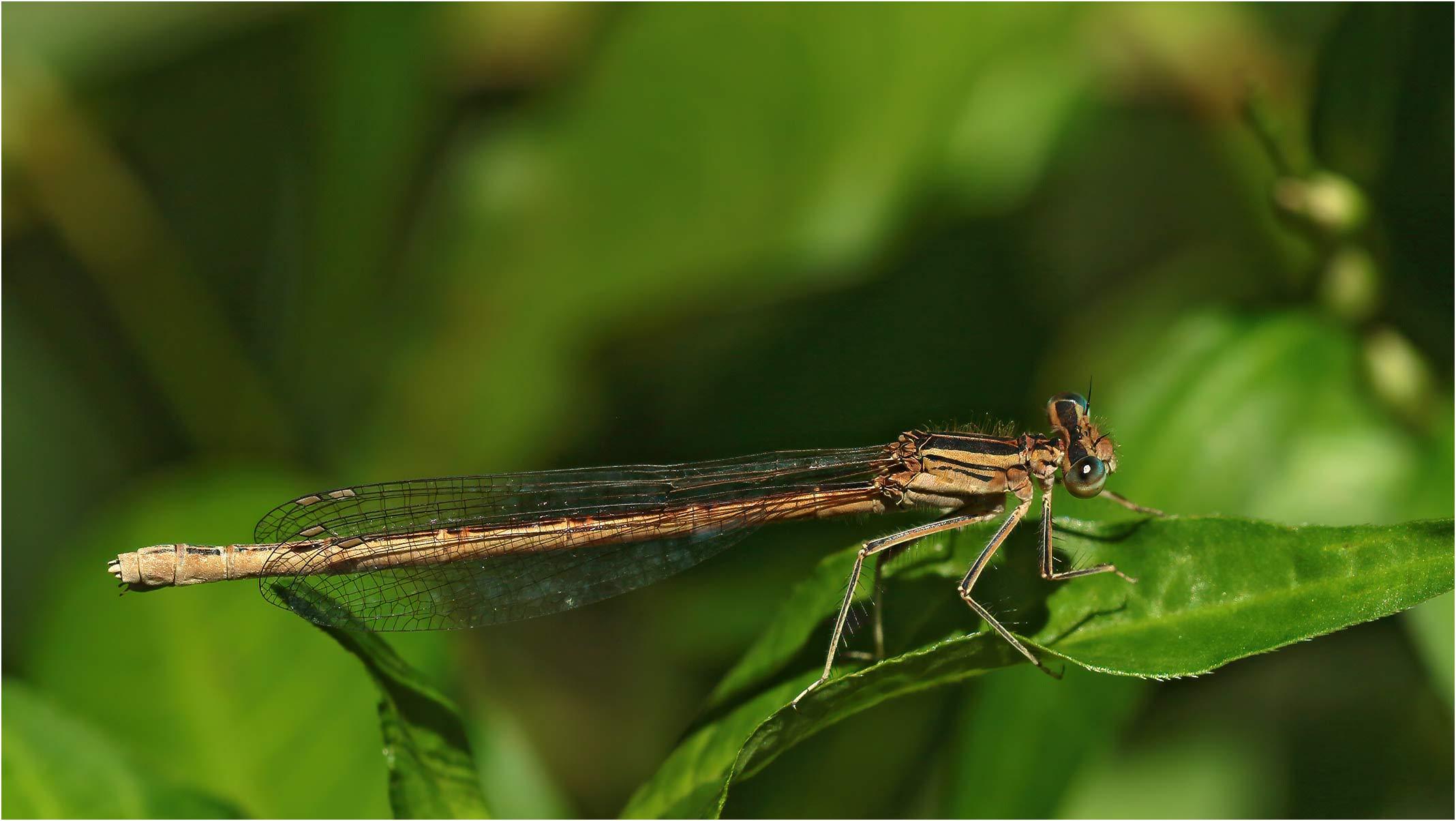 Platycnemis acutipennis femelle, Sort-en-Chalosse (France-40), près du Luy, 04/07/2020
