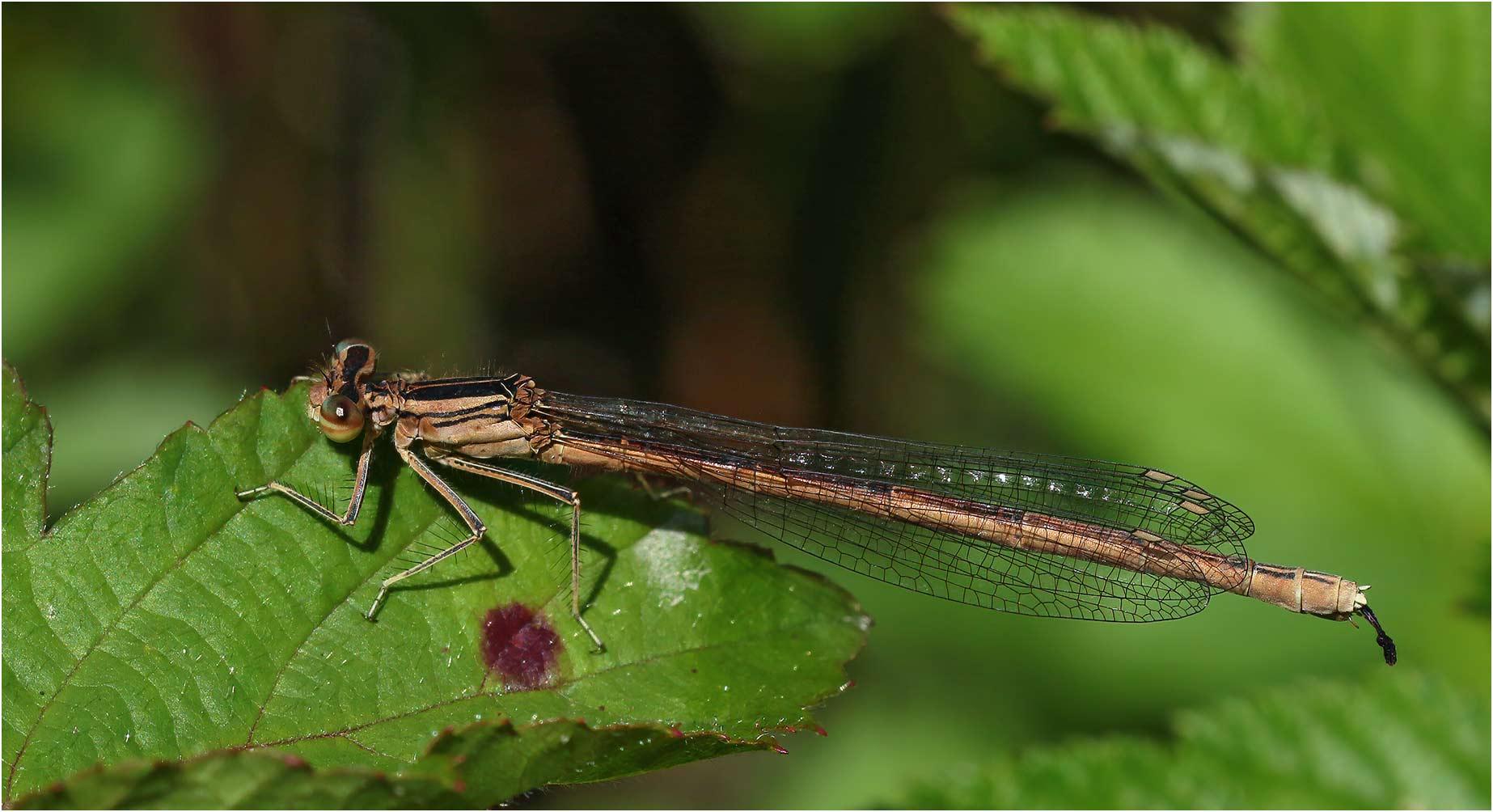Platycnemis acutipennis femelle, Castelnau-Chalosse (France-40), 04/07/2020