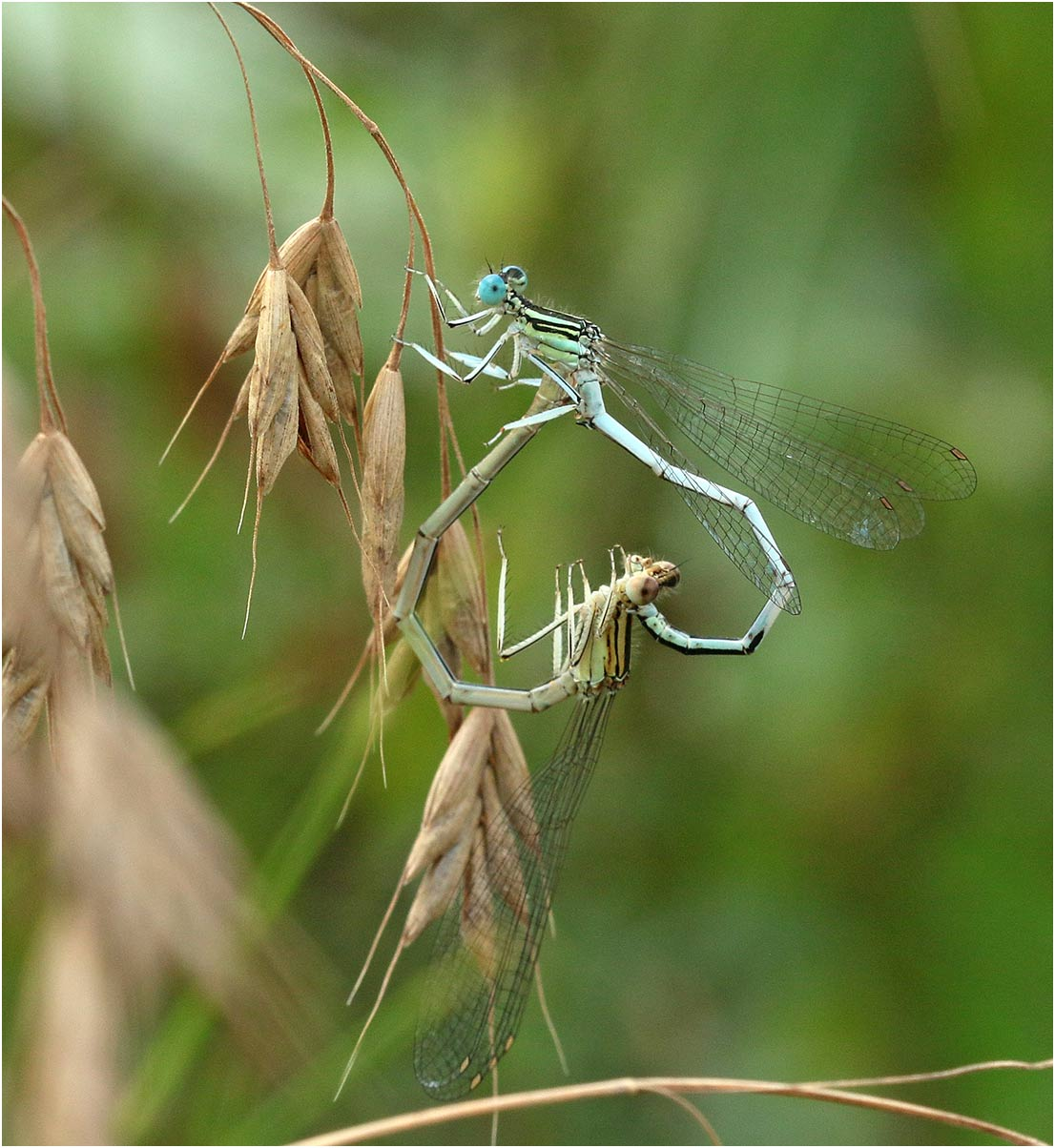 Platycnemis latipes accouplement, Castelnau de Montmirail (France - 81), 18/07/2019