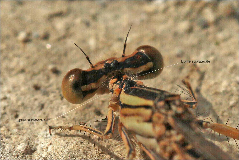 Platycnemis latipes femelle, pronotum, Montreal (FRance-07), 14/07/2020